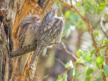 A Pair of Tawny Frogmouths sitting on a branch in a tree